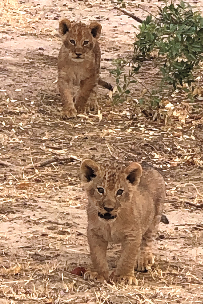 Young lions in Zimbabwe