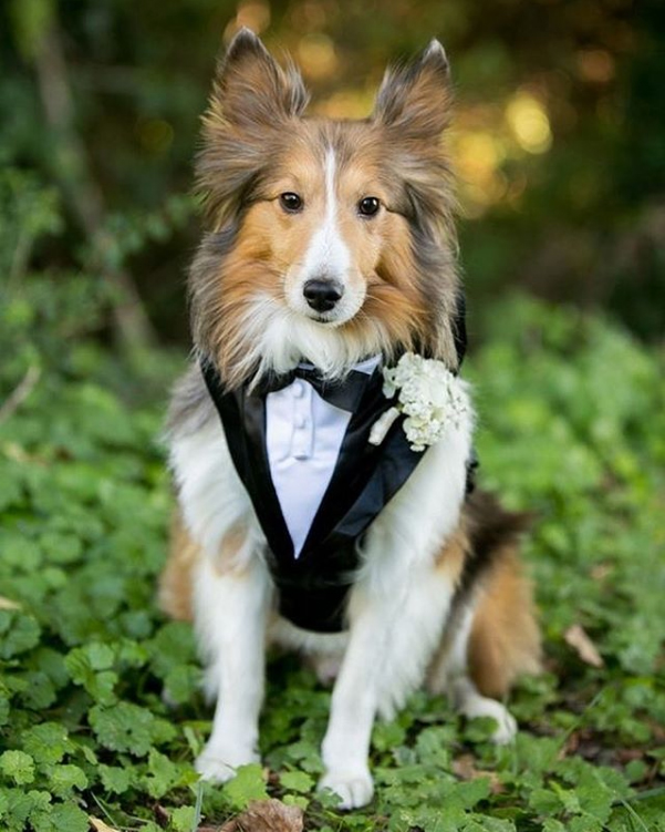 collie in a tux