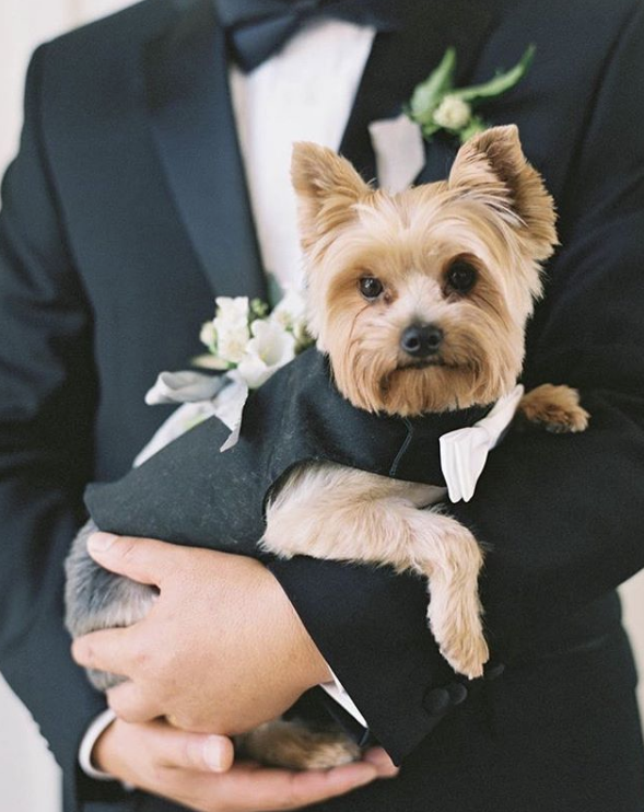 puppy in tuxedo with groom