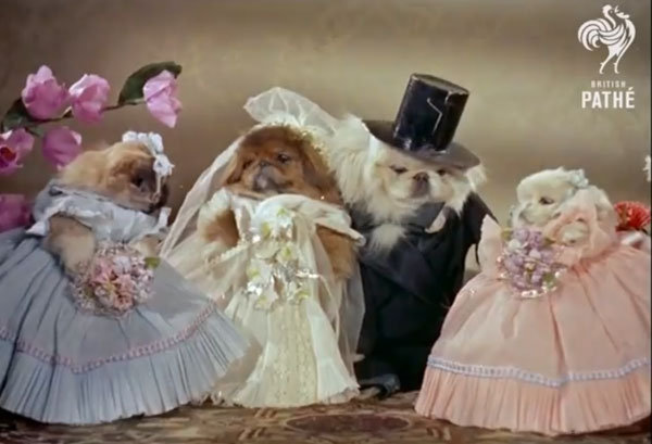 pekinese dog wedding