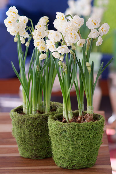 diy centerpiece daffodils in moss